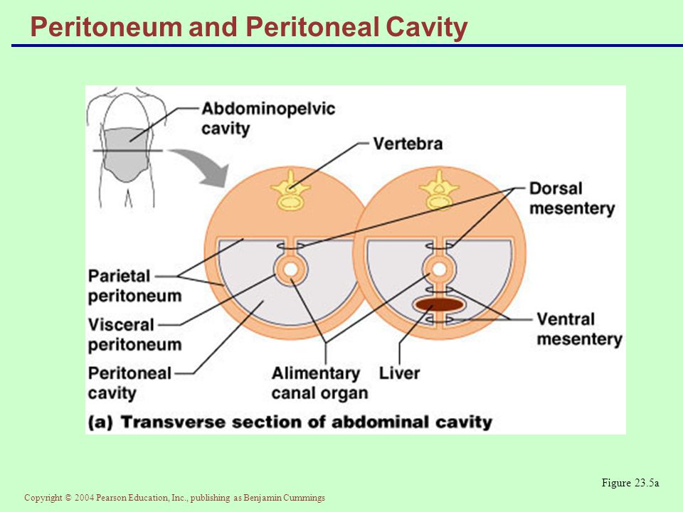Copyright © 2004 Pearson Education, Inc., publishing as Benjamin Cummings Peritoneum and Peritoneal Cavity Figure 23.5a