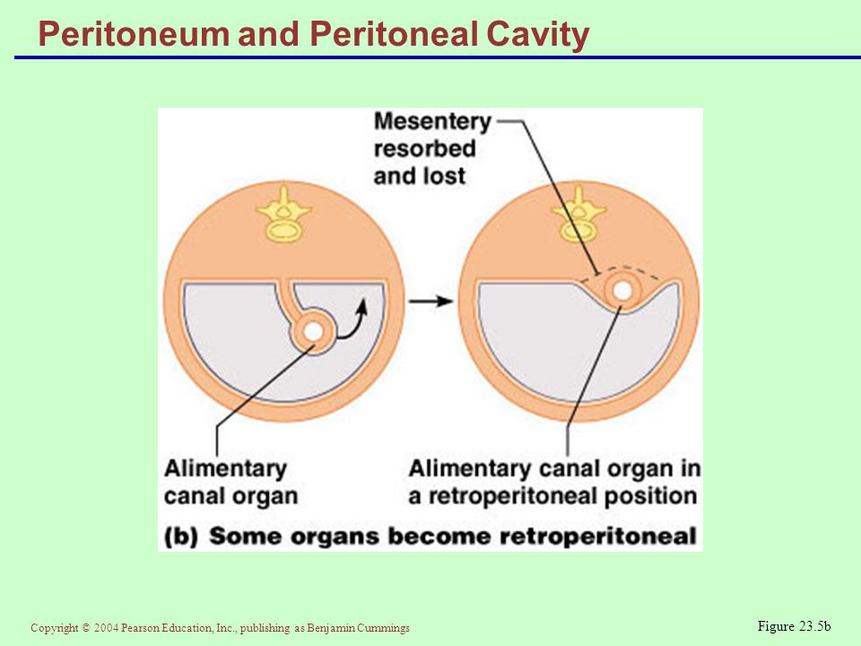 Copyright © 2004 Pearson Education, Inc., publishing as Benjamin Cummings Peritoneum and Peritoneal Cavity Figure 23.5b