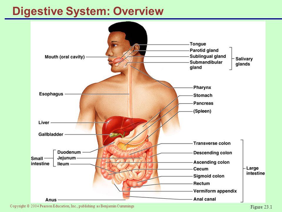 Copyright © 2004 Pearson Education, Inc., publishing as Benjamin Cummings Digestive Process  The GI tract is a disassembly line  Nutrients become more available to the body in each step  There are six essential activities:  Ingestion, propulsion, and mechanical digestion  Chemical digestion, absorption, and defecation