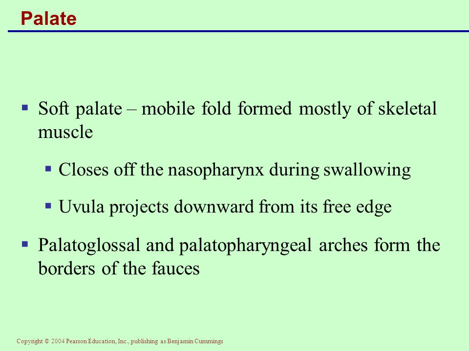 Copyright © 2004 Pearson Education, Inc., publishing as Benjamin Cummings Palate  Soft palate – mobile fold formed mostly of skeletal muscle  Closes