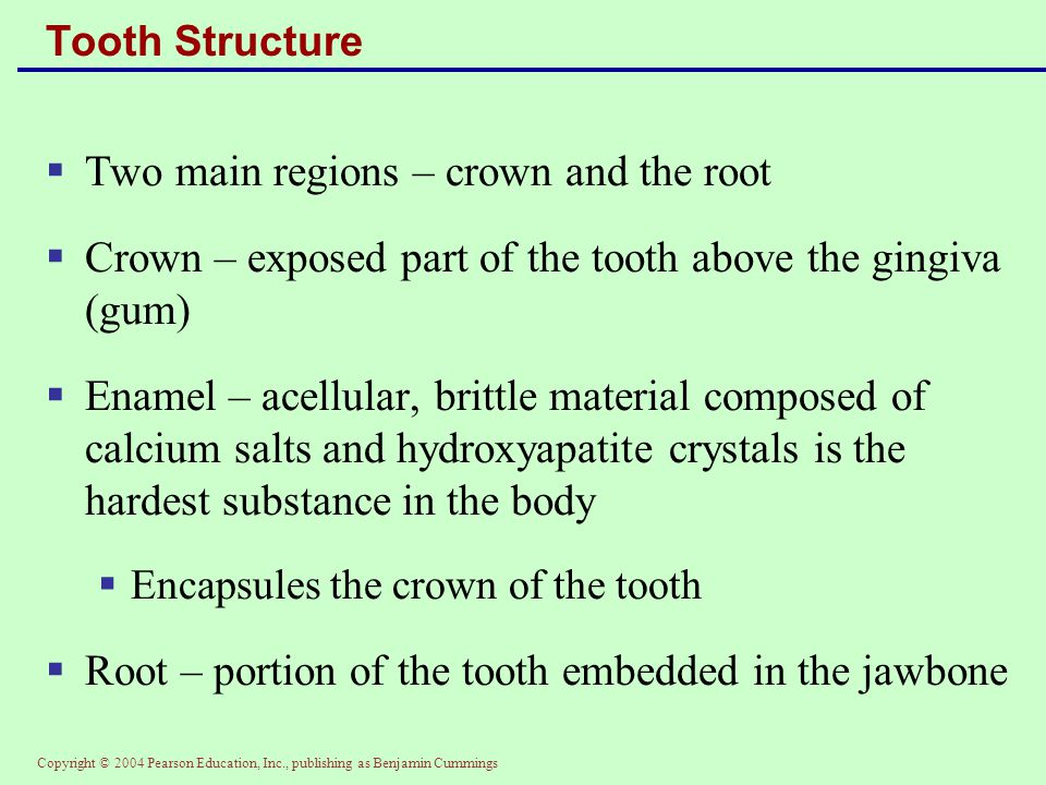 Copyright © 2004 Pearson Education, Inc., publishing as Benjamin Cummings Tooth Structure  Two main regions – crown and the root  Crown – exposed pa
