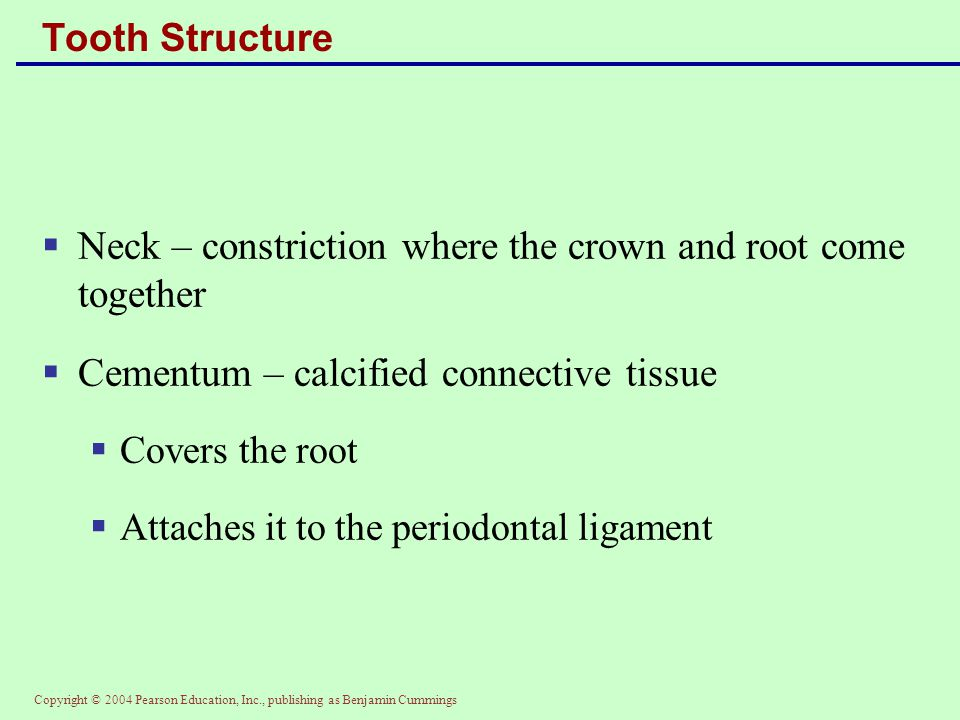Copyright © 2004 Pearson Education, Inc., publishing as Benjamin Cummings Tooth Structure  Neck – constriction where the crown and root come together