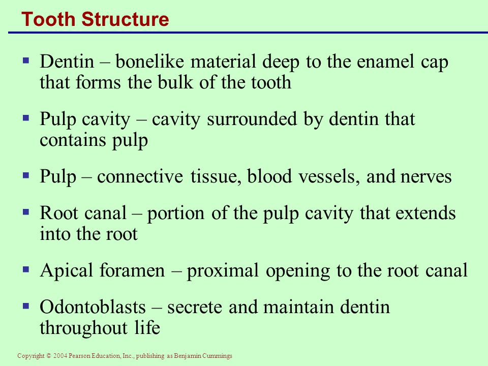 Copyright © 2004 Pearson Education, Inc., publishing as Benjamin Cummings Tooth Structure  Dentin – bonelike material deep to the enamel cap that for