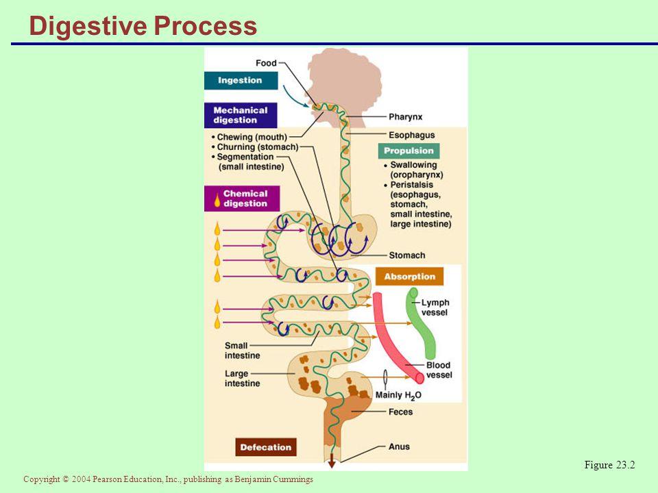 Copyright © 2004 Pearson Education, Inc., publishing as Benjamin Cummings Fatty Acid Absorption Figure 23.36