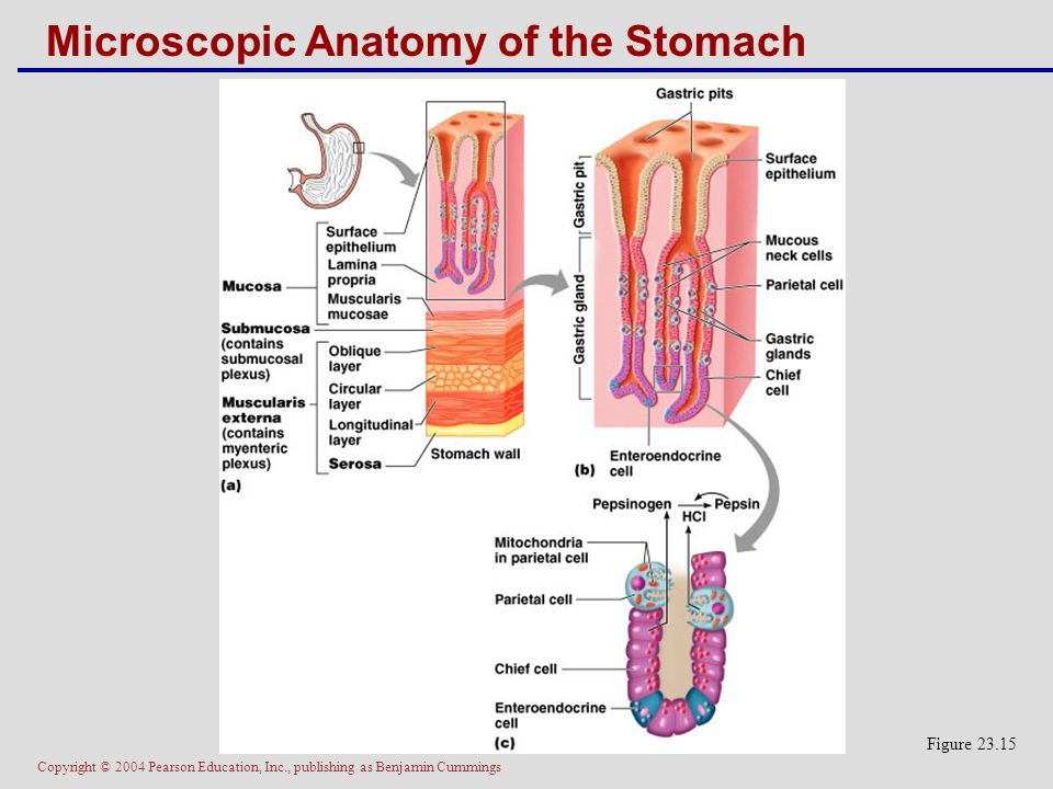 Copyright © 2004 Pearson Education, Inc., publishing as Benjamin Cummings Microscopic Anatomy of the Stomach Figure 23.15