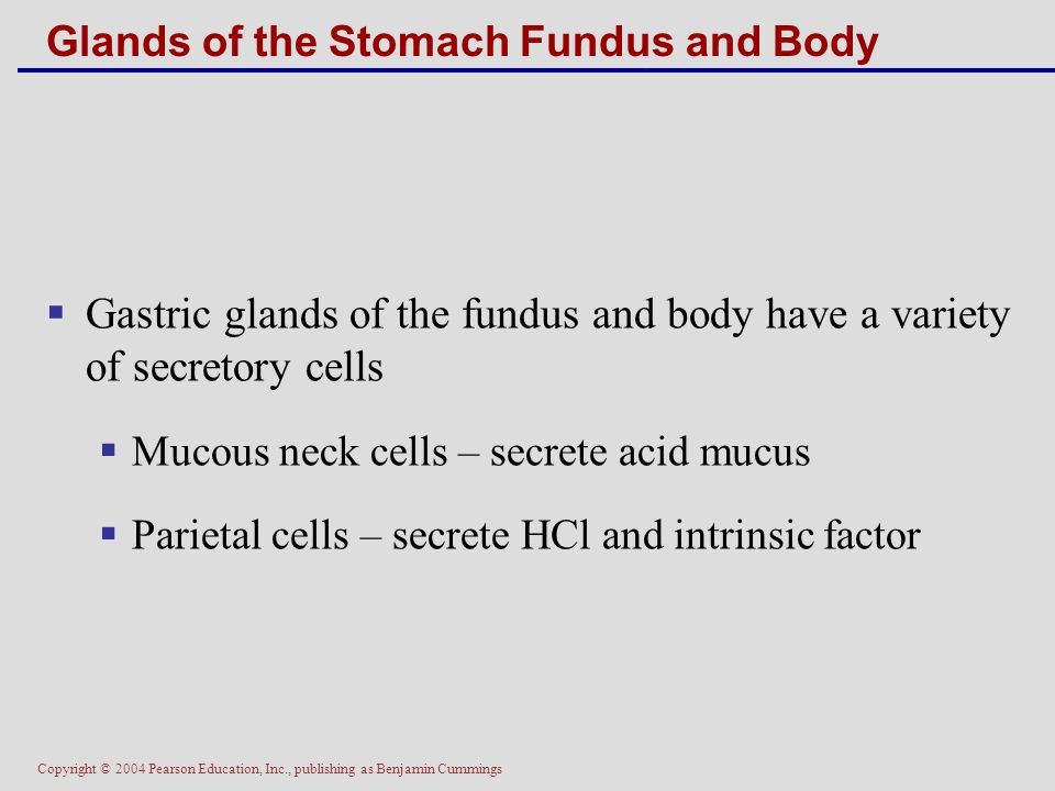 Copyright © 2004 Pearson Education, Inc., publishing as Benjamin Cummings Glands of the Stomach Fundus and Body  Gastric glands of the fundus and bod