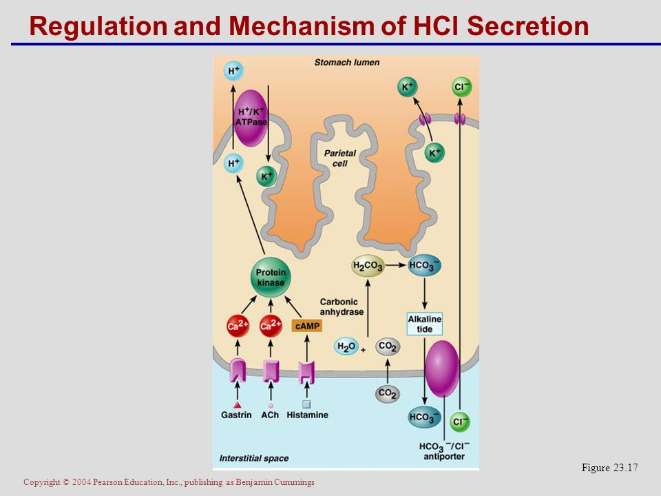 Copyright © 2004 Pearson Education, Inc., publishing as Benjamin Cummings Regulation and Mechanism of HCl Secretion Figure 23.17