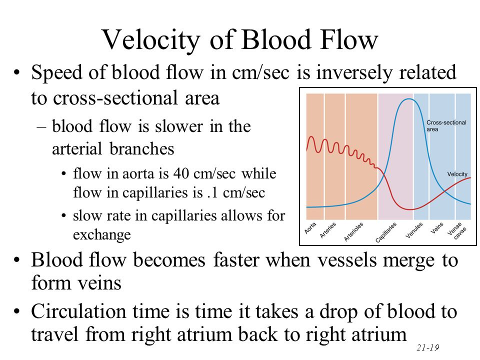 21-19 Velocity of Blood Flow Speed of blood flow in cm/sec is inversely related to cross-sectional area –blood flow is slower in the arterial branches