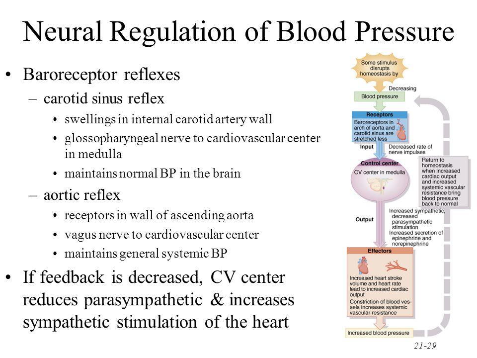 21-29 Neural Regulation of Blood Pressure Baroreceptor reflexes –carotid sinus reflex swellings in internal carotid artery wall glossopharyngeal nerve