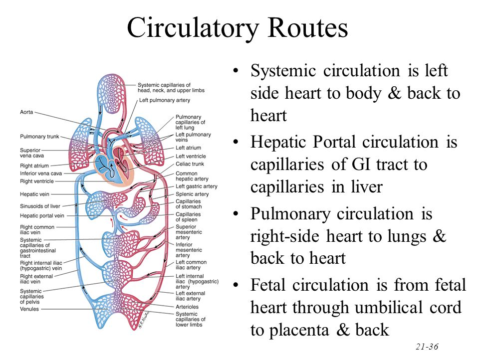 21-36 Circulatory Routes Systemic circulation is left side heart to body & back to heart Hepatic Portal circulation is capillaries of GI tract to capi