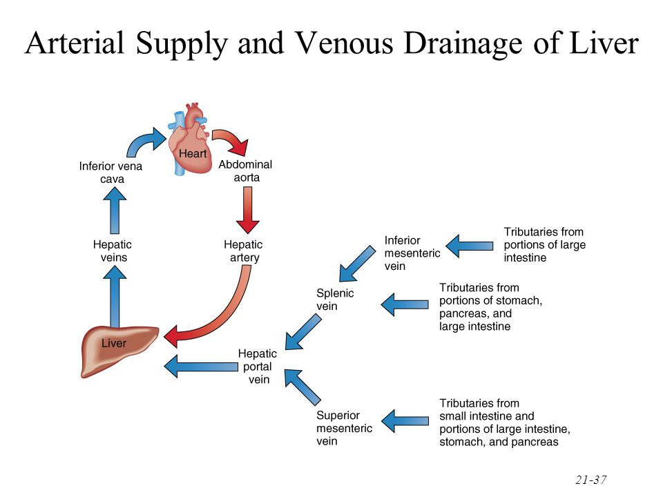 21-37 Arterial Supply and Venous Drainage of Liver