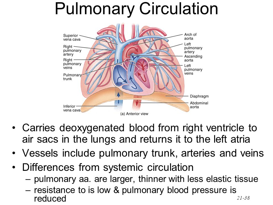 21-38 Pulmonary Circulation Carries deoxygenated blood from right ventricle to air sacs in the lungs and returns it to the left atria Vessels include