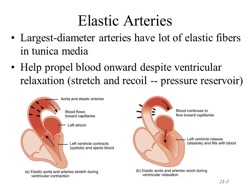 21-5 Elastic Arteries Largest-diameter arteries have lot of elastic fibers in tunica media Help propel blood onward despite ventricular relaxation (st