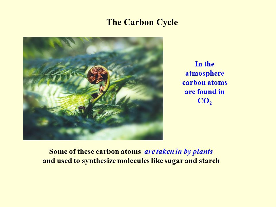 In the atmosphere carbon atoms are found in CO 2 Some of these carbon atoms are taken in by plants and used to synthesize molecules like sugar and sta