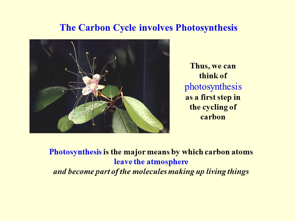 Atmospheric CO 2 Sugars and organic molecules in living things Photosynthesis Summary Drawing of the Carbon Cycle Key Components: Cellular Respiration