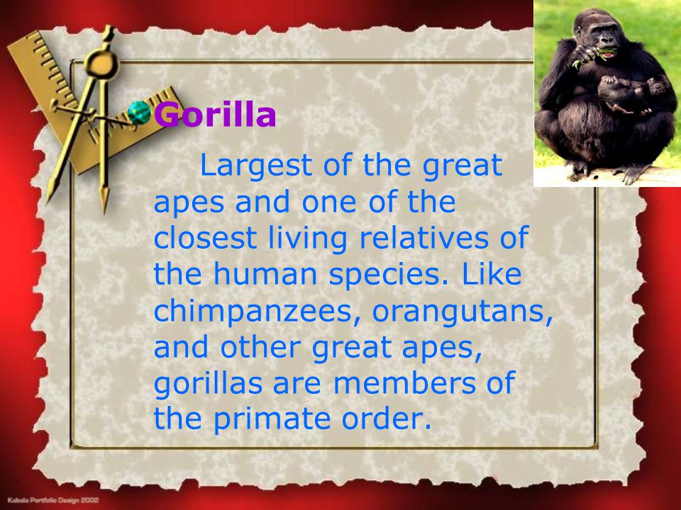 Gorilla Largest of the great apes and one of the closest living relatives of the human species. Like chimpanzees, orangutans, and other great apes, go