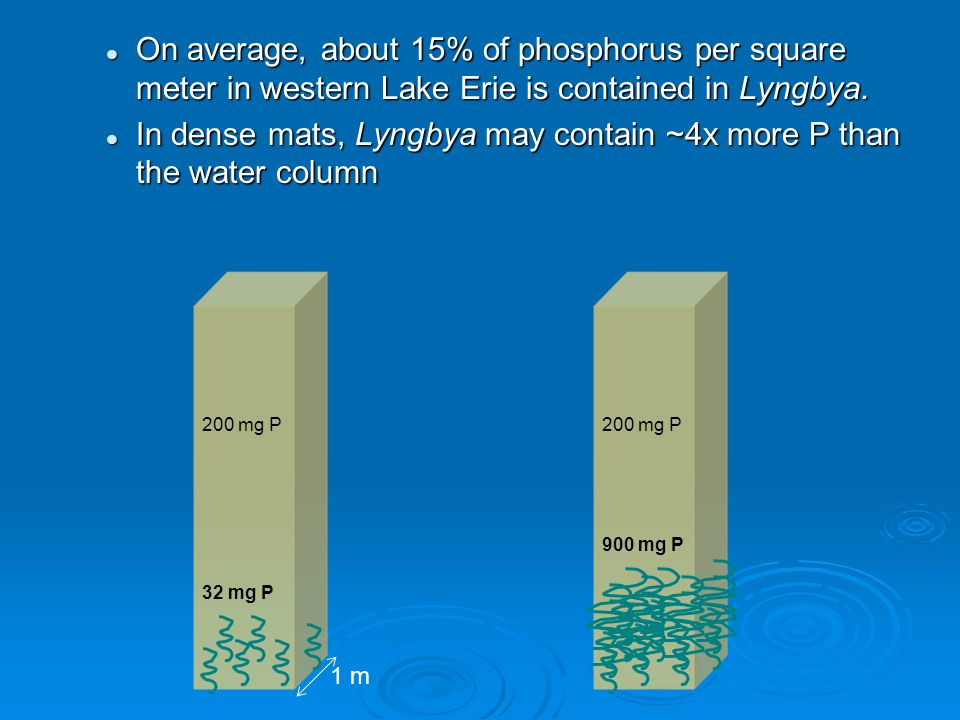 On average, about 15% of phosphorus per square meter in western Lake Erie is contained in Lyngbya.