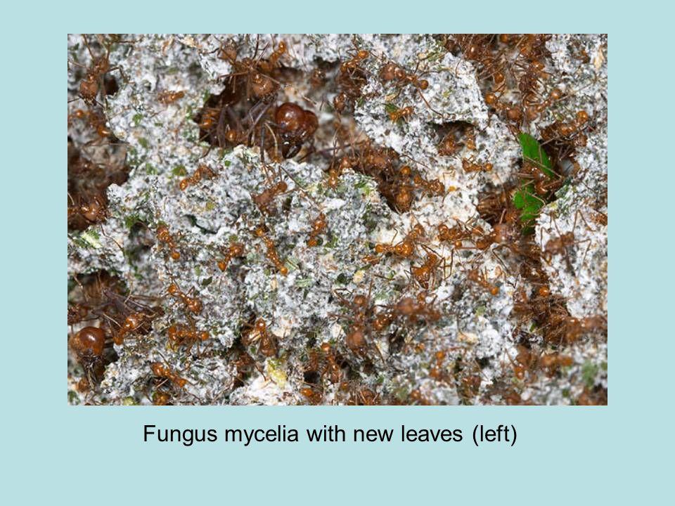 Fungus mycelia with new leaves (left)