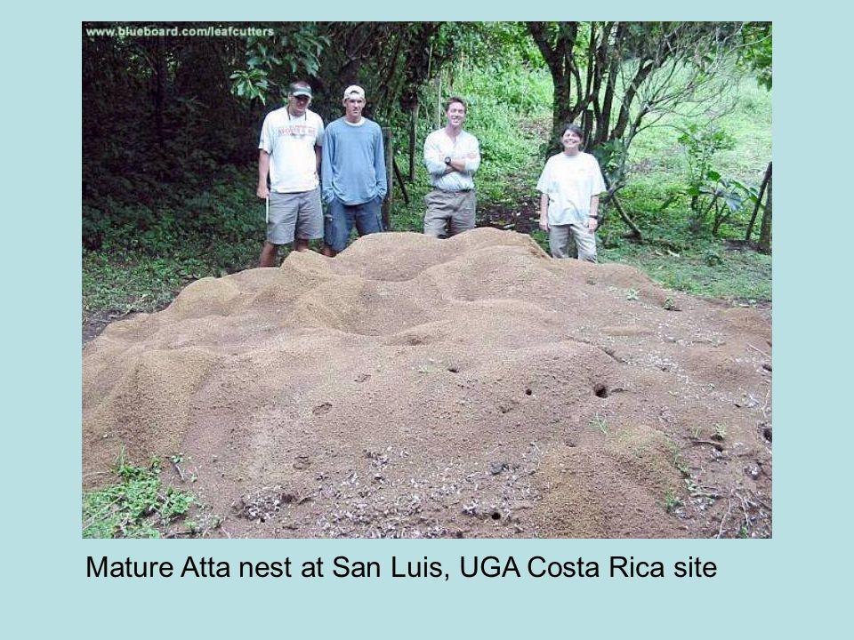Mature Atta nest at San Luis, UGA Costa Rica site