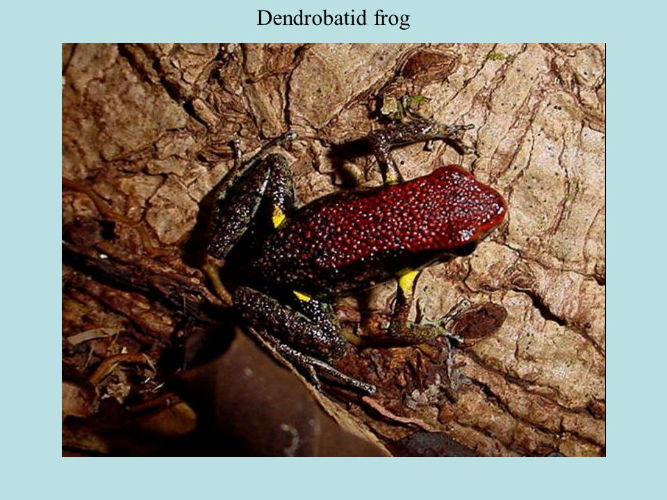 Docile…as long as you don't make a fist. Worst parts are the hairs. Dendrobatid frog