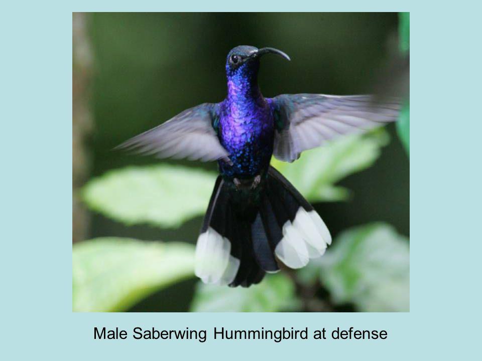 Male Saberwing Hummingbird at defense