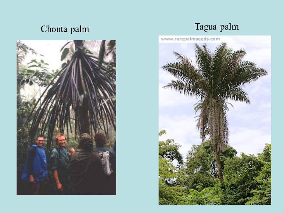 Chonta palm Tagua palm