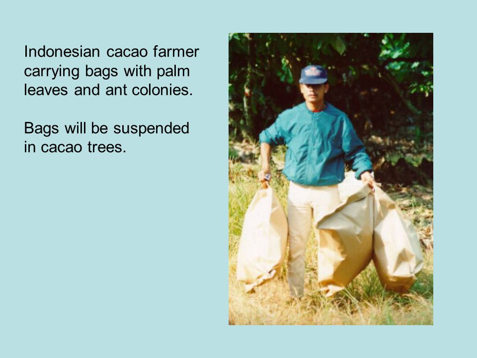 Indonesian cacao farmer carrying bags with palm leaves and ant colonies.