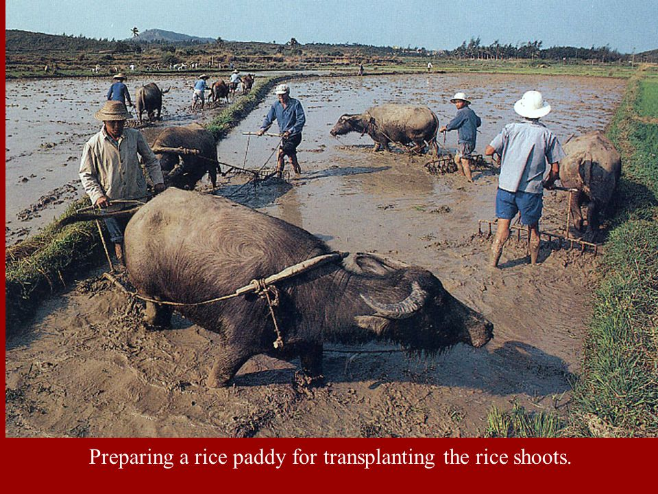 Preparing a rice paddy for transplanting the rice shoots.
