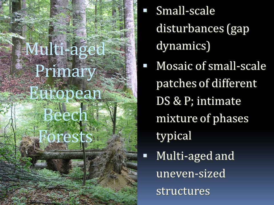 Multi-aged Primary European Beech Forests  Small-scale disturbances (gap dynamics)  Mosaic of small-scale patches of different DS & P; intimate mixture of phases typical  Multi-aged and uneven-sized structures