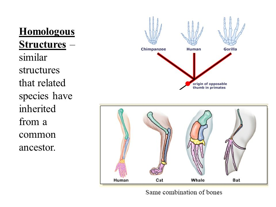Homologous Structures – similar structures that related species have inherited from a common ancestor.