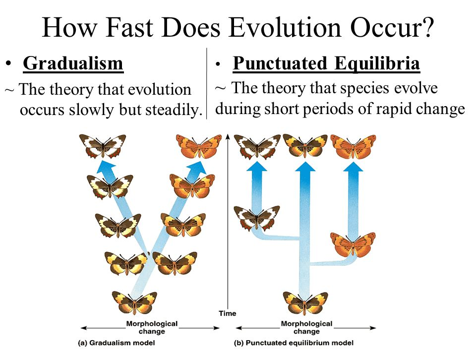 How Fast Does Evolution Occur? Gradualism ~ The theory that evolution occurs slowly but steadily. Punctuated Equilibria ~ The theory that species evol
