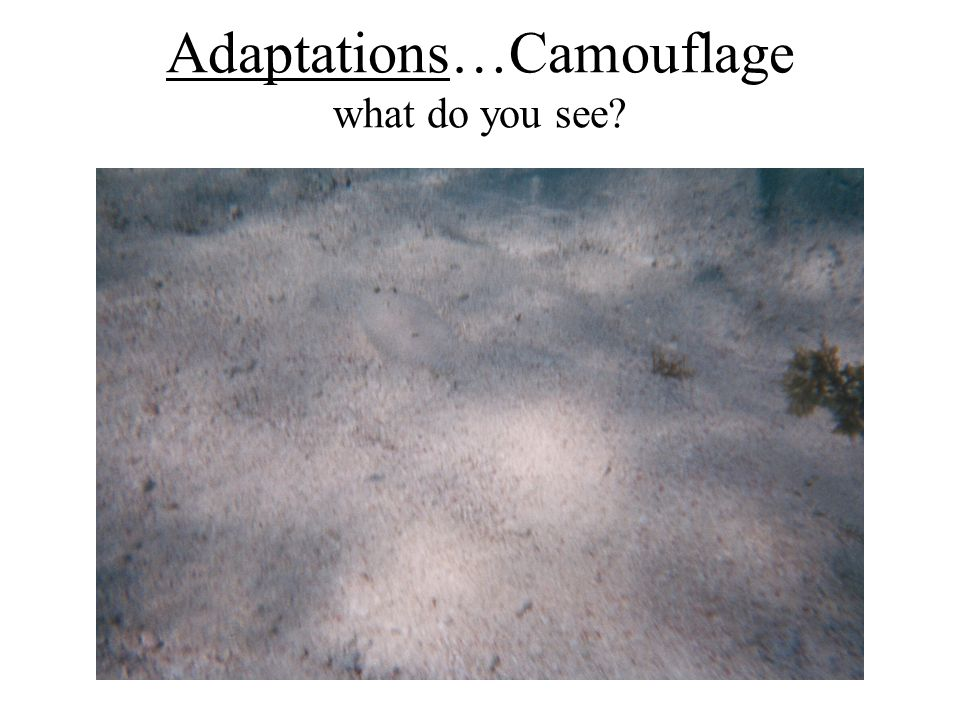 Adaptations…Camouflage what do you see?