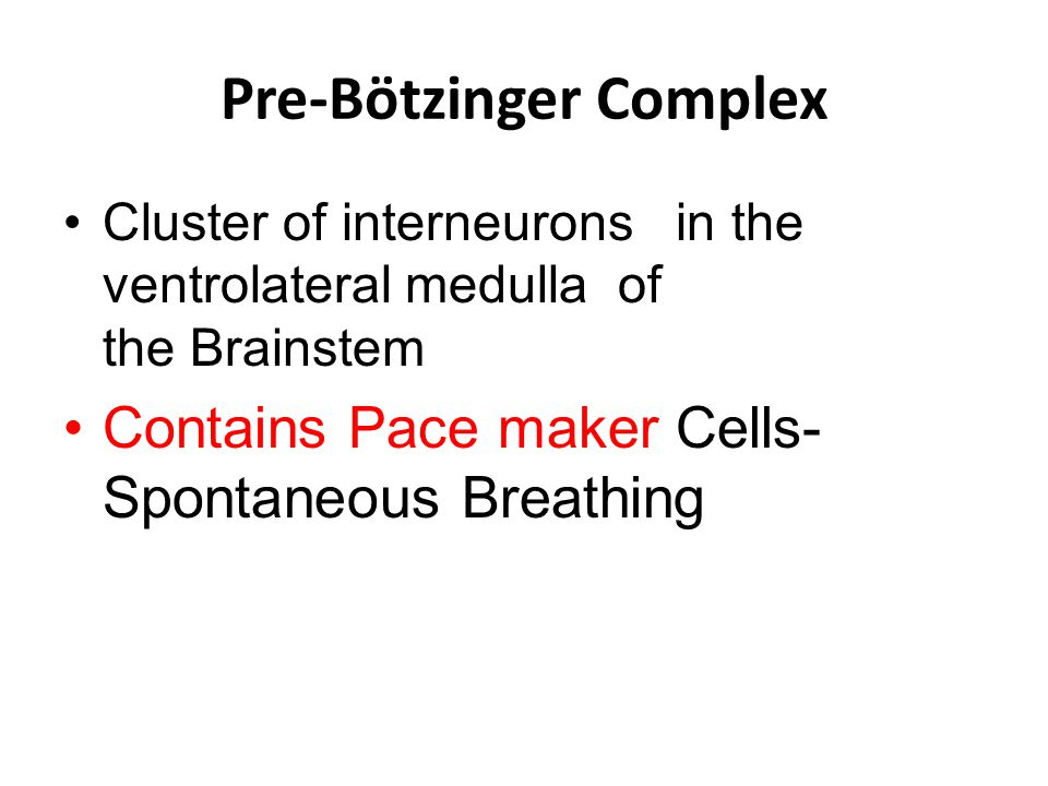 Pre-Bötzinger Complex Cluster of interneurons in the ventrolateral medulla of the Brainstem Contains Pace maker Cells- Spontaneous Breathing