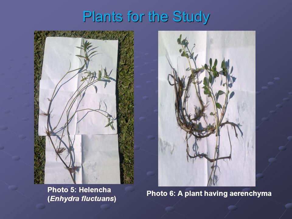 Photo 5: Helencha (Enhydra fluctuans) Photo 6: A plant having aerenchyma Plants for the Study