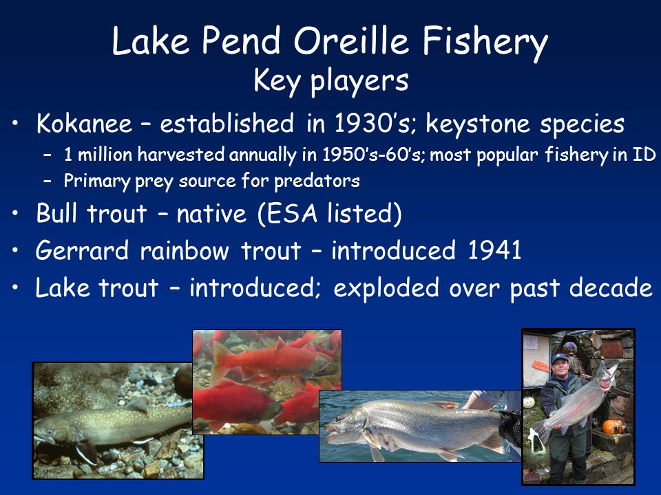 Kokanee – established in 1930's; keystone species –1 million harvested annually in 1950's-60's; most popular fishery in ID –Primary prey source for predators Bull trout – native (ESA listed) Gerrard rainbow trout – introduced 1941 Lake trout – introduced; exploded over past decade Lake Pend Oreille Fishery Key players