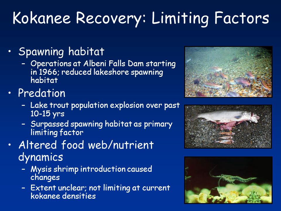 Kokanee Recovery: Limiting Factors Spawning habitat –Operations at Albeni Falls Dam starting in 1966; reduced lakeshore spawning habitat Predation –Lake trout population explosion over past 10-15 yrs –Surpassed spawning habitat as primary limiting factor Altered food web/nutrient dynamics –Mysis shrimp introduction caused changes –Extent unclear; not limiting at current kokanee densities