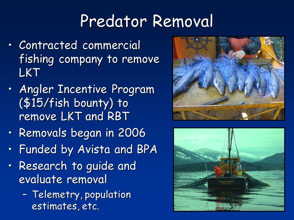 Predator Removal Contracted commercial fishing company to remove LKTContracted commercial fishing company to remove LKT Angler Incentive Program ($15/fish bounty) to remove LKT and RBTAngler Incentive Program ($15/fish bounty) to remove LKT and RBT Removals began in 2006Removals began in 2006 Funded by Avista and BPAFunded by Avista and BPA Research to guide and evaluate removalResearch to guide and evaluate removal –Telemetry, population estimates, etc.