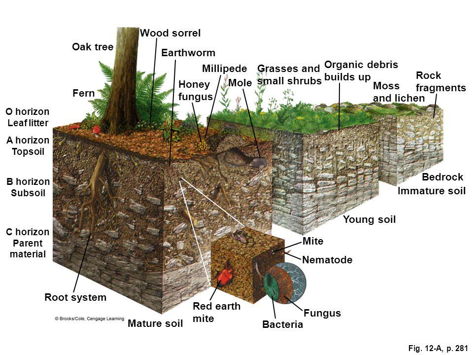 Fig. 12-A, p. 281 Wood sorrel Oak tree Earthworm Grasses and small shrubs Organic debris builds up Fern Honey fungus Moss and lichen Mole Rock fragmen