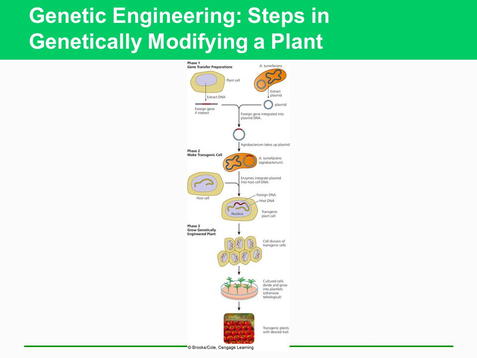 Genetic Engineering: Steps in Genetically Modifying a Plant