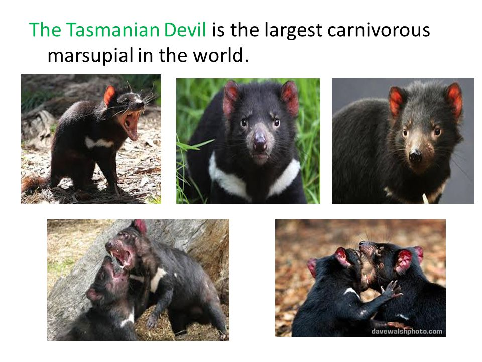 The Tasmanian Devil is the largest carnivorous marsupial in the world.