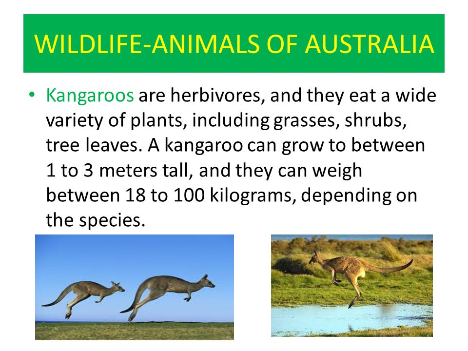 WILDLIFE-ANIMALS OF AUSTRALIA Kangaroos are herbivores, and they eat a wide variety of plants, including grasses, shrubs, tree leaves.