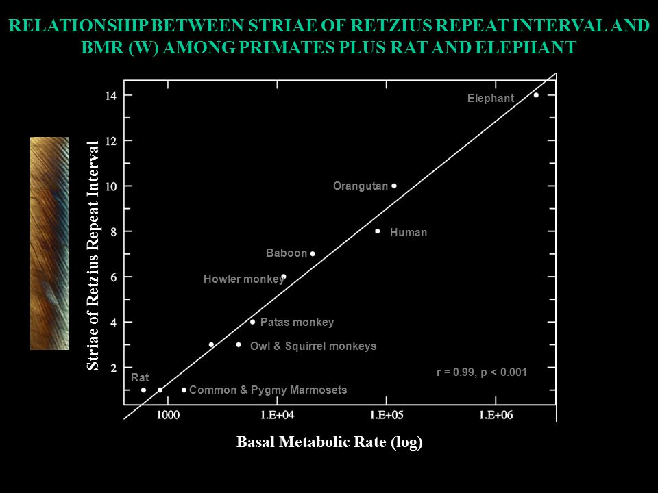 r = 0.99, p < 0.001 Orangutan Rat Elephant Howler monkey Baboon Human Patas monkey Owl & Squirrel monkeys Common & Pygmy Marmosets Basal Metabolic Rate (log) Striae of Retzius Repeat Interval RELATIONSHIP BETWEEN STRIAE OF RETZIUS REPEAT INTERVAL AND BMR (W) AMONG PRIMATES PLUS RAT AND ELEPHANT