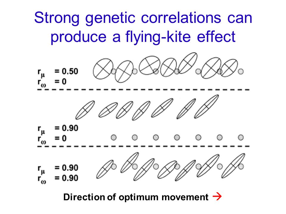 Strong genetic correlations can produce a flying-kite effect Direction of optimum movement 