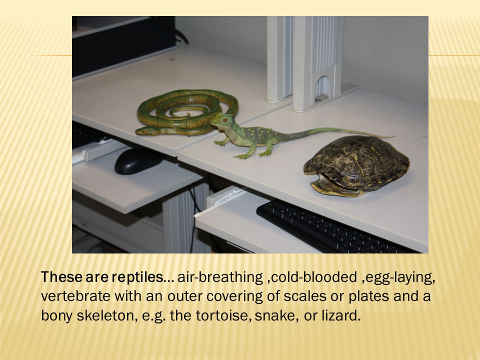 These are reptiles… air-breathing,cold-blooded,egg-laying, vertebrate with an outer covering of scales or plates and a bony skeleton, e.g. the tortois