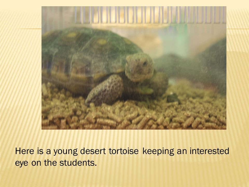  The Desert Tortoise is at home in the hottest driest parts of North America.