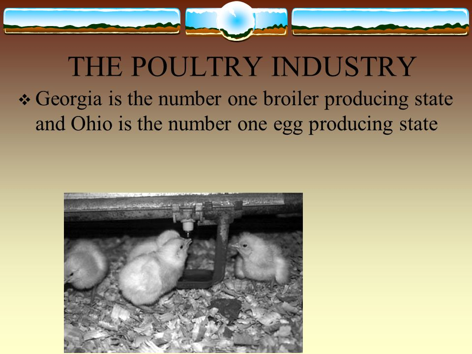 THE POULTRY INDUSTRY  Georgia is the number one broiler producing state and Ohio is the number one egg producing state