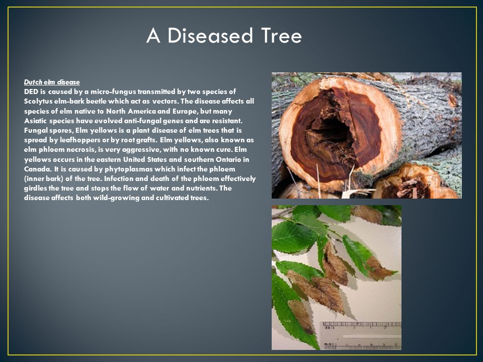 Dutch elm disease DED is caused by a micro-fungus transmitted by two species of Scolytus elm-bark beetle which act as vectors.