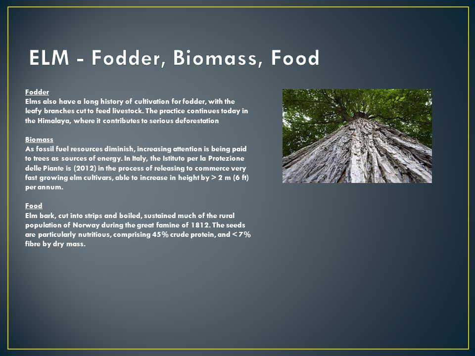 Fodder Elms also have a long history of cultivation for fodder, with the leafy branches cut to feed livestock.