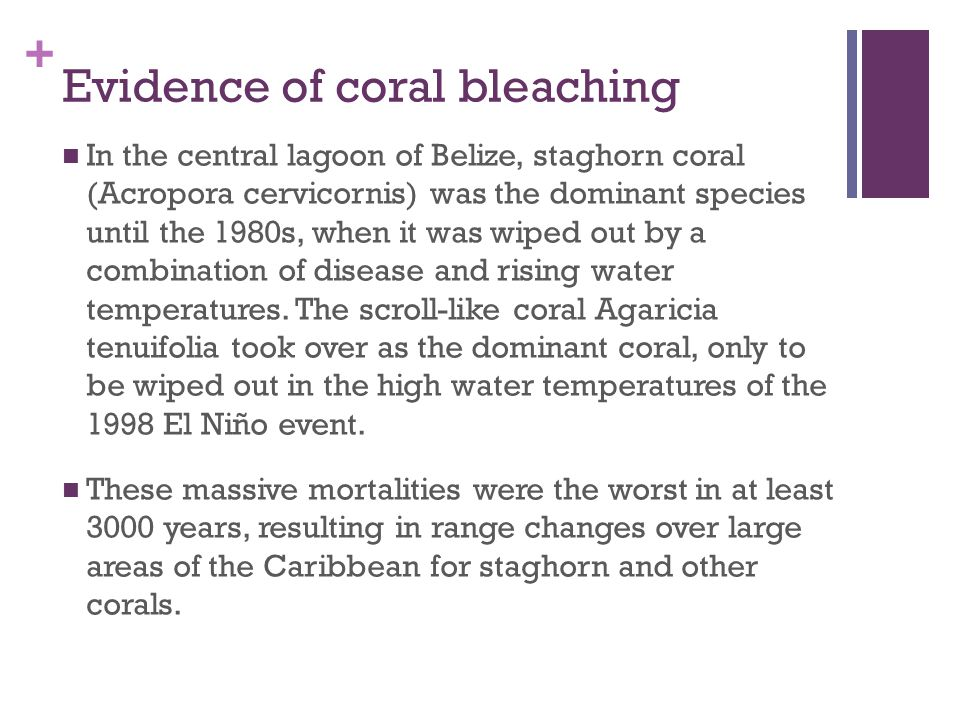 + Evidence of coral bleaching In the central lagoon of Belize, staghorn coral (Acropora cervicornis) was the dominant species until the 1980s, when it was wiped out by a combination of disease and rising water temperatures.