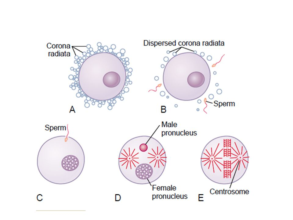 Lactation Estrogens and progesterone stimulate the growth and development of the breasts throughout pregnancy.
